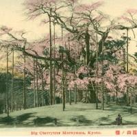 1415. Big Cherrytree, Maruyama Kyoto