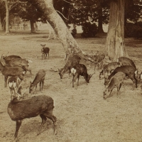 1956. Herd of Sacred Deer at Nara, Japan (1896)