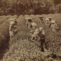 1966. Picking the Famous Uji Tea Near Kyoto, Japan (1896)
